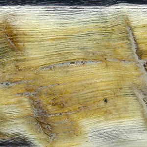 Corne de bélier